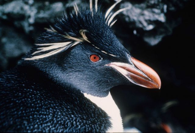 Rockhopper Penguin close up. Picture