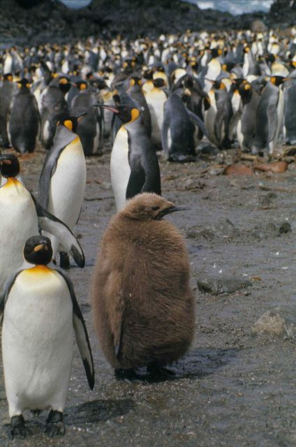 King Penguins & chicks. Picture