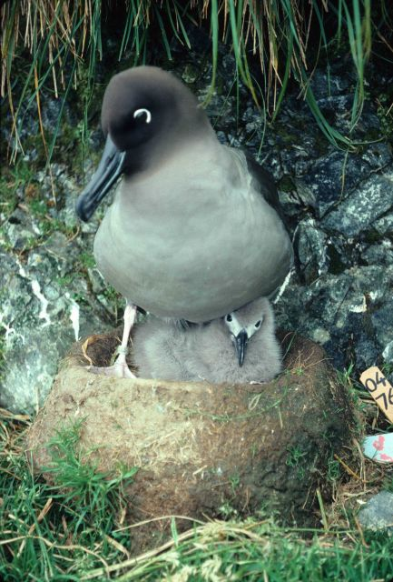 Light mantled sooty albatross & chick. Picture
