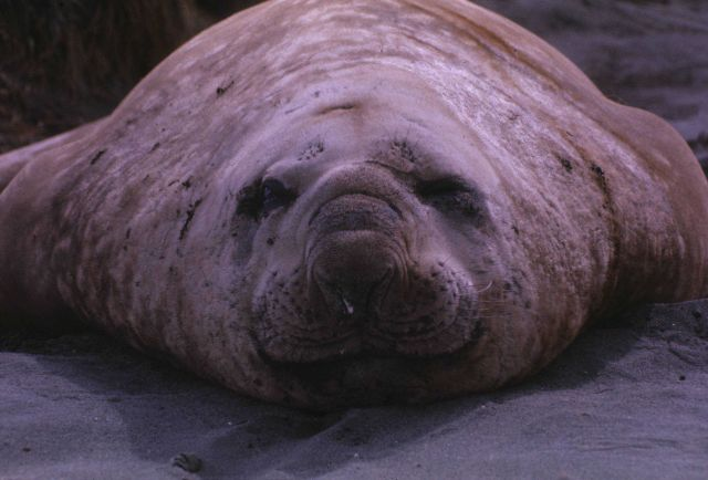 Elephant seal closeup & head on. Picture