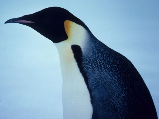 Emperor Penguin close up of head. Picture