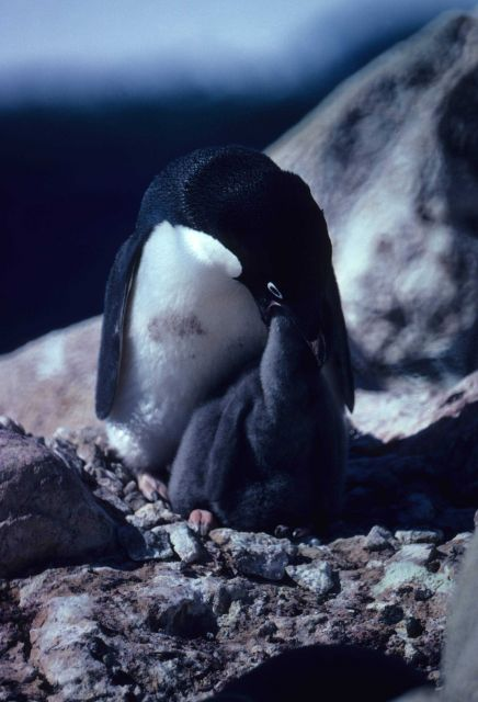 Adelie Penguin feeding chick. Picture