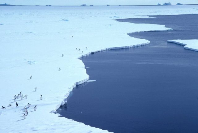Mawson Ice Edge; Adelie Penguins Picture