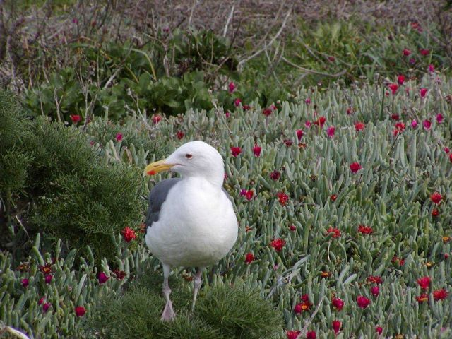 A Western Gull (Larus occidentalis) Picture