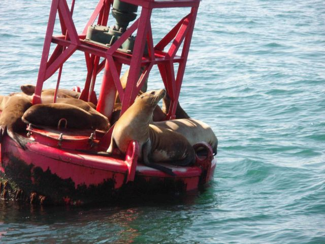 Buoy riding California sea lions (Zalophus californianus). Picture