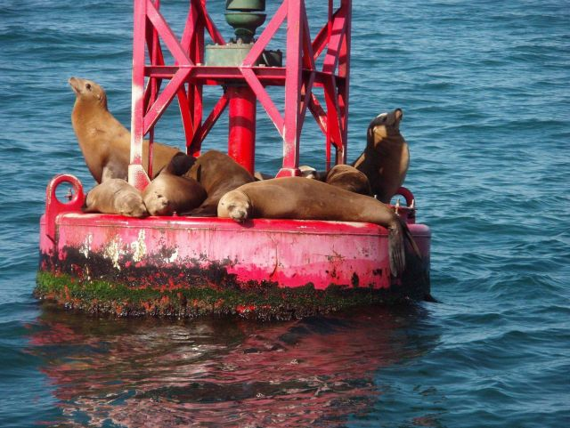 Buoy riding California sea lions (Zalophus californianus). Picture