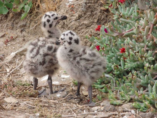 California gull chicks (Larus Californicus). Picture
