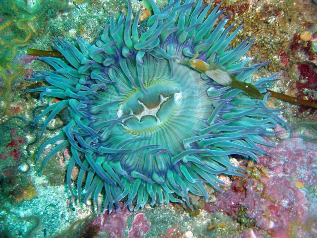 A large green sea anemone Picture