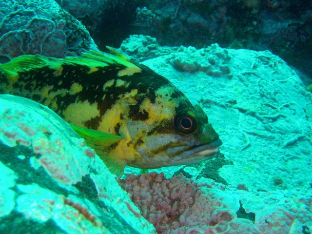 Black and yellow rockfish (Sebastes chrysomelas). Picture