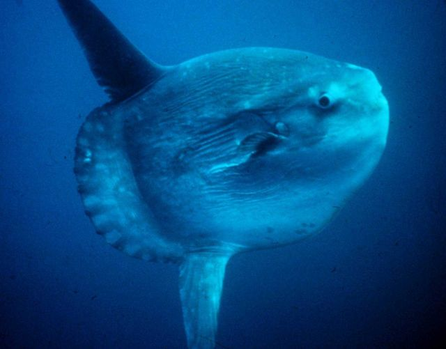 An ocean sunfish or mola mola Picture