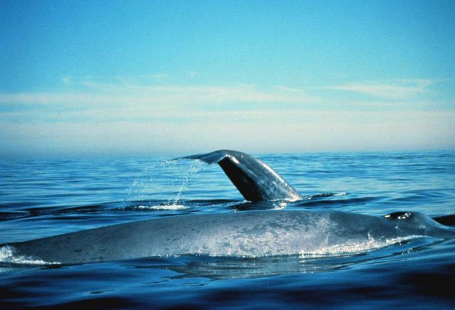Blue whales on the surface Picture