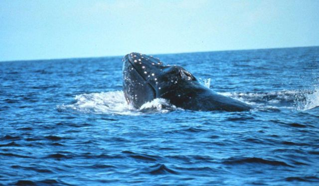 A migrating humpback whale Picture