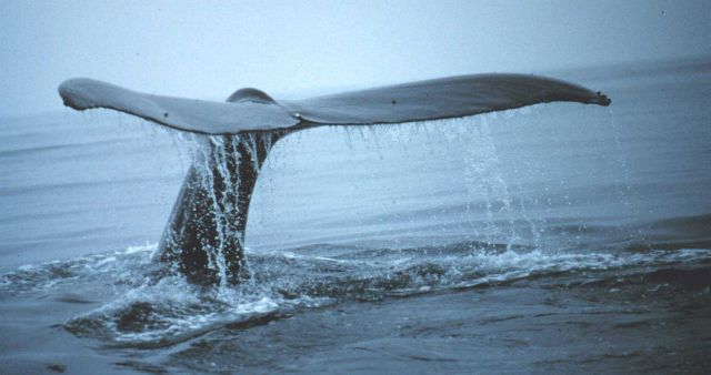 A humpback tail Picture
