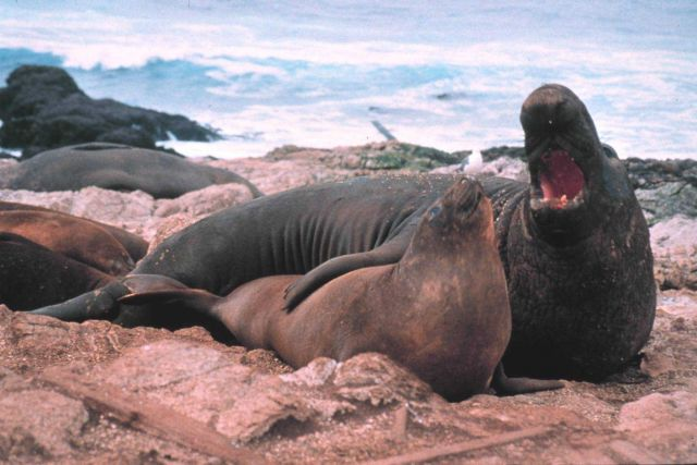 Elephant seals on the Farallon Islands Picture