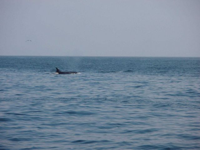 A lone killer whale (Orcinus orca). Picture