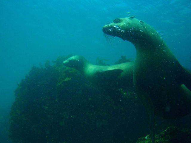 California sealion (Zalophus californianus), mother and pup underwater. Picture