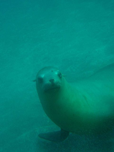 California sealion (Zalophus californianus). Picture