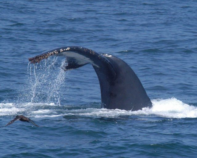 Tail of humpback whale as it dives. Picture