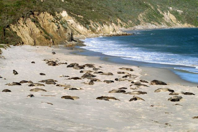 Elephant seals at rest on the beach at Cuyler Harbor. Picture
