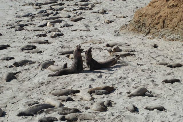 Two male elephant seals fighting on the beach at San Miguel Island. Picture
