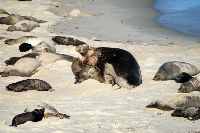 Mating elephant seals on the beach at San Miguel Island. Picture