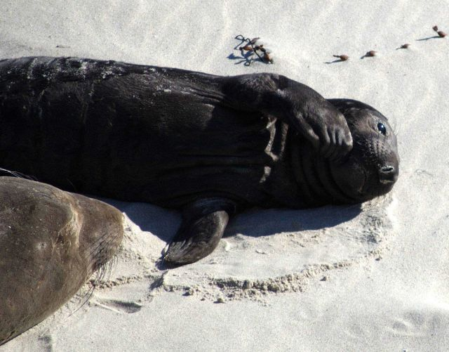 An elephant seal pup sleeping on the beach at Active Point, San Miguel Island. Picture