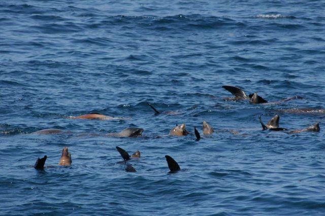 California sea lions Picture