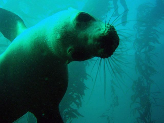 Playful California sea lions in the kelp forest off San Miguel Island. Picture