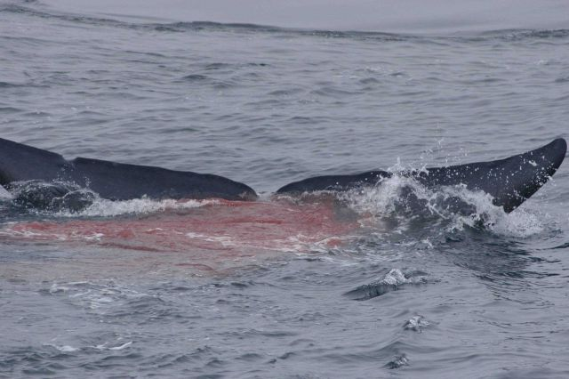 Red excrement reflecting the blue whale diet of krill. Picture