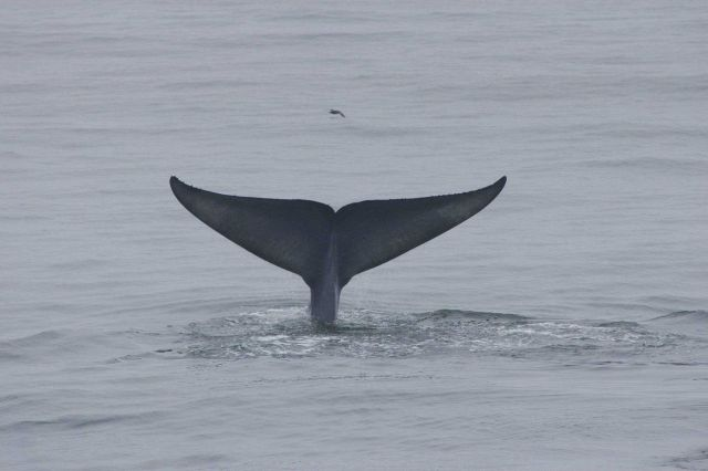Blue whale flukes Picture