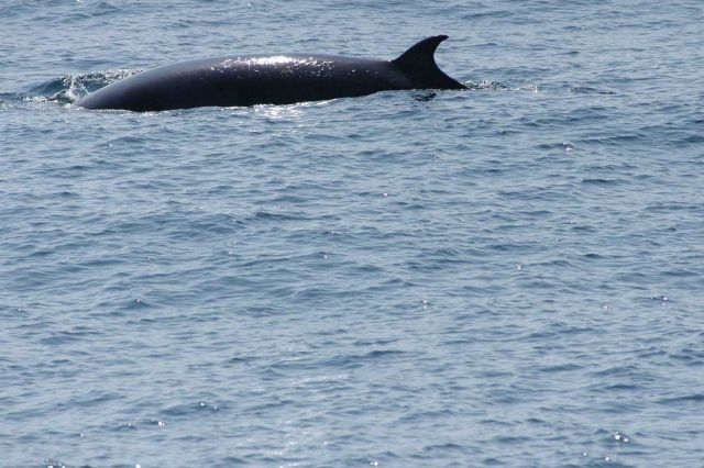 Minke whale on surface Picture