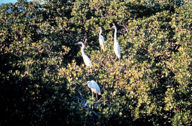 Great egret using mangrove trees as roosting site Picture