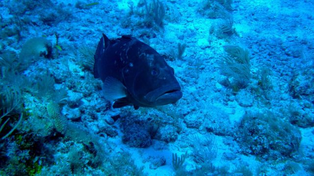 A red grouper cruising over the reef. Picture