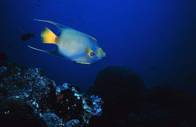 A Queen Angelfish Picture