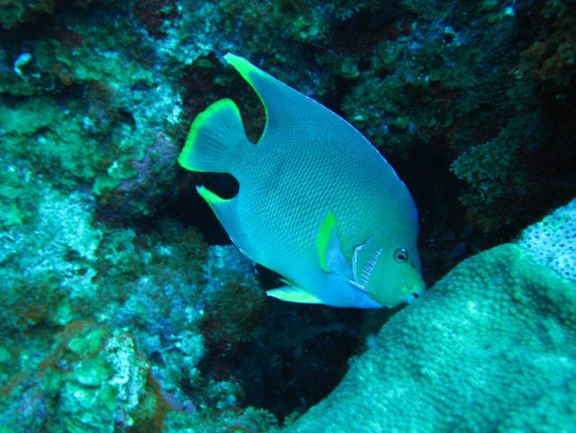 Blue angelfish Picture