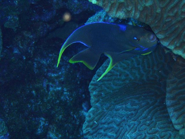 Angelfish Picture