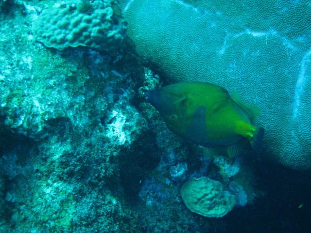 American whitespotted filefish swimming upside down Picture