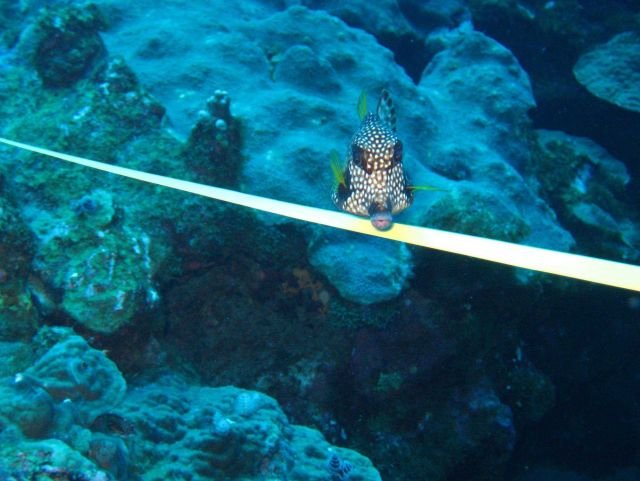 Smooth trunkfish Picture