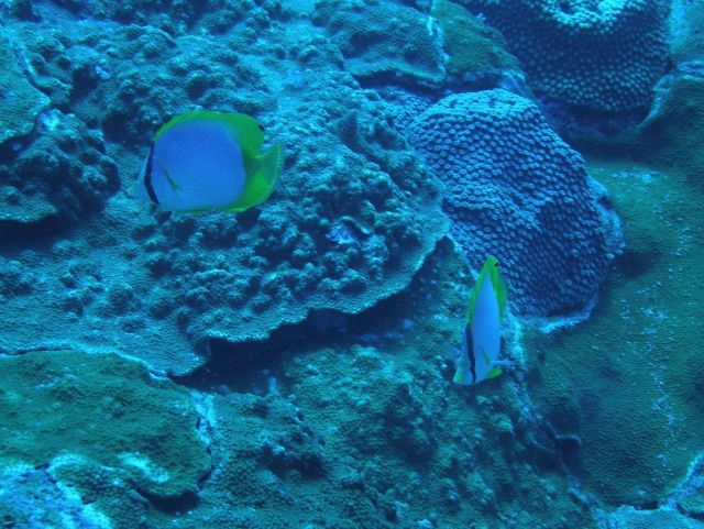 Spotfin butterfly fish Picture
