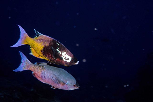 Creole wrasse Picture