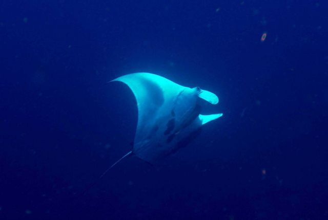 Manta seen in the water column as ascending to surface Picture