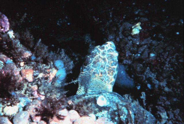 Loggerhead Sea Turtle under a ledge Picture