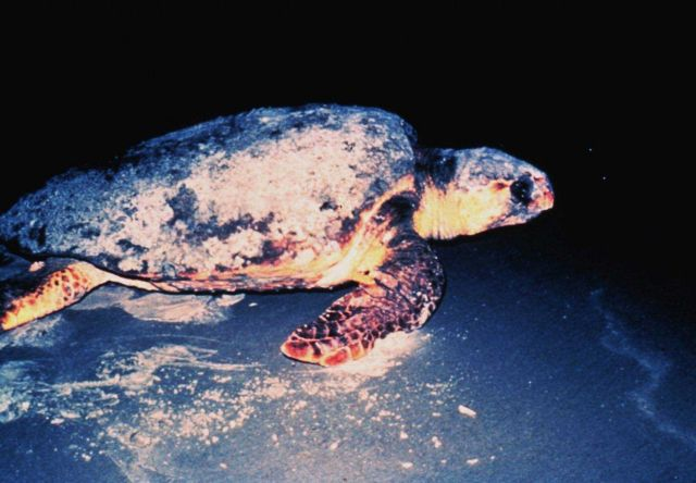 A Loggerhead Sea Turtle Picture