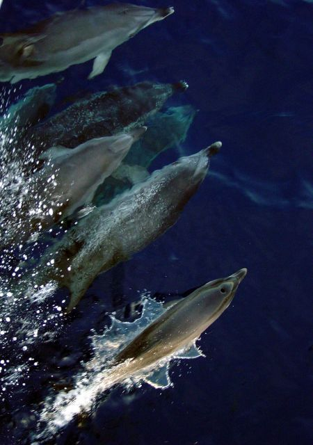Atlantic spotted dolphin Picture