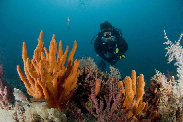 Diver conducting fish survey on Gray's Reef with a variety of invertebrates in image including soft coral, finger sponge, and a few fish. Picture