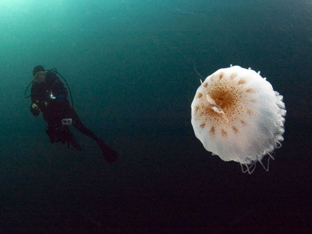 Diver and a large jellyfish at Gray's Reef. Picture