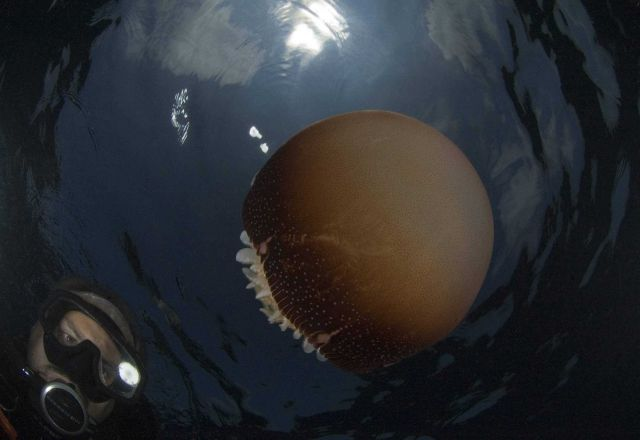 Diver inspecting cannonball jellyfish with sun above at Gray's Reef. Picture