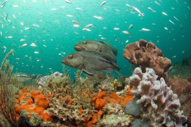Black sea bass (Centropristis striata) hovering over the reef. Picture