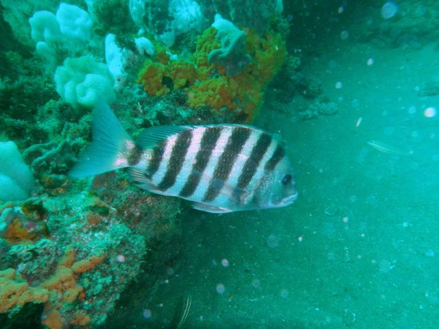 Striped fish and Corals - Gray's Reef Picture