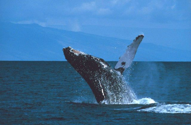 Humpback whale breaching Picture